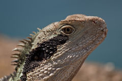 Water Dragon. Wild Eastern Water Dragon portrait Royalty Free Stock Images