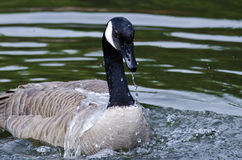 Water Draining From the Bill of a Canada Goose Royalty Free Stock Photo