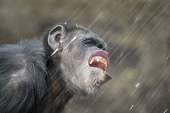 Adult Chimpanzee portrait. A water drinking adult female Chimpanzee portrait stock images