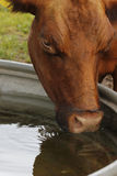 Water drinking cow Royalty Free Stock Photos