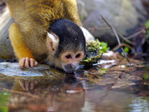 Water drinking monkey. A squirrel monkey is drinking water royalty free stock photography