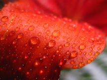 Water drip on red lily royalty free stock photography