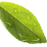 Water dripping of a leaf Stock Image