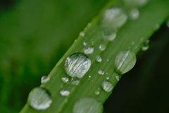 Water drips on a grass halm. Macro, selective focus with green bokeh background - Poaceae Stock Photos