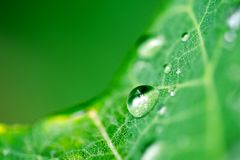 Water drop. Rain drop clinging to a leaf stock images