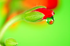 Water  Drop. Water drop on the rose bud.  Super Macro Royalty Free Stock Images