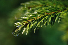 Water drop. On a green pine leaf Stock Photos