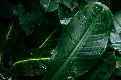 Free Water Drop After Rain On Leaf Beautiful In The Tropical Forest Plant Jungle, Natural Green Leaves Pattern Dark Background Royalty Free Stock Photos - 203791318