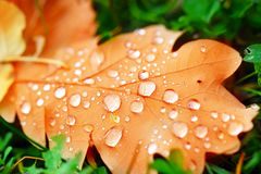 Water drop on autumn leaf Stock Images