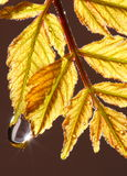 Water drop on Autumnal leaves. Macro view of sunlight glistening off water drop of golden Autumnal leaves royalty free stock image