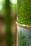 Water drop on bamboo Stock Photography