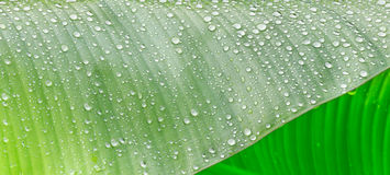 Water drop and banana leaf. Water drop and green banana leaf Royalty Free Stock Photo
