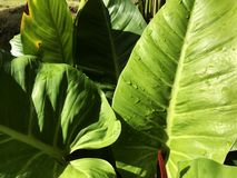 Water Drop on big green leaf in sunshine day stock photos
