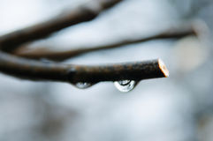 Water drop on a branch Stock Photos