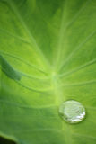 Water drop on caladium leaf Stock Image