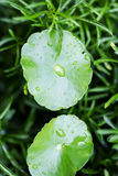 Water drop on centella asiatica Royalty Free Stock Photography