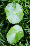 Water drop on centella asiatica Royalty Free Stock Images
