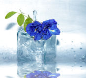 Water drop on clitoria ternatea, Asian pigeonwings Stock Photo