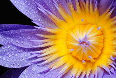 Water drop on colorful purple water lily in thaila Royalty Free Stock Image