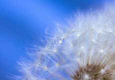 Water drop on a dandelion Stock Photo