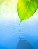 Water Drop Fall From Green Leaf With Ripple Royalty Free Stock Photos