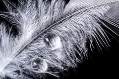 Water drop on feather macro texture on black Royalty Free Stock Image