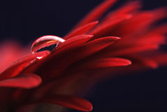Water drop on flower. A drop of water on a red flower Royalty Free Stock Photography