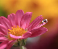 Water Drop on Flower. A shiny water drop on a pink flower petal Stock Image