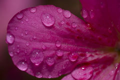 Water drop on a flower petal Stock Images