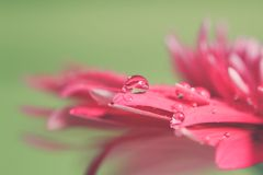 Water drop on flower Royalty Free Stock Images