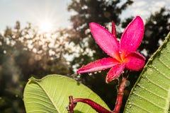 Water drop and Frangipani tropical flowers. Plumeria flowers fresh on sunrise Stock Photo