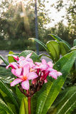 Water drop and Frangipani tropical flowers. Plumeria flowers fresh on sunrise Stock Image
