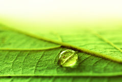 Water Drop on a fresh green leaf texture Royalty Free Stock Photography