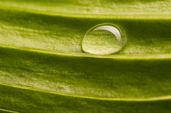 Water drop on fresh leaf Royalty Free Stock Image
