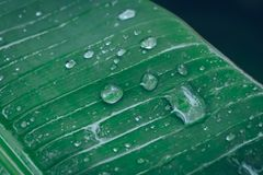 Water drop on green banana leaf background. After raining Stock Photo