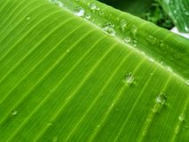 Water drop on green banana leaf background. After raining royalty free stock photos