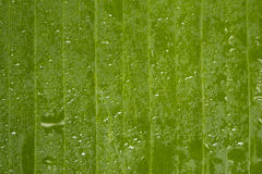 Water drop on green banana leaf with lines. Selective focus Royalty Free Stock Image