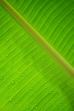 Water drop on green banana leaf texture background. Royalty Free Stock Photo