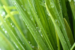 Water drop on the green grass. Beautiful water drops on the green grass royalty free stock photo