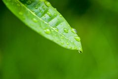 Water drop from green lea Royalty Free Stock Image