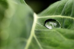 Water drop on a green leaf. Big water drop on the green leaf royalty free stock photography