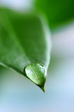 Water drop on green leaf. Macro of a water drop on the tip of a green leaf Stock Images