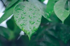 Water drop on green leaf background. After raining Royalty Free Stock Image