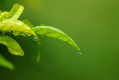 Water drop from green leaf Stock Photo
