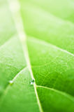 Water drop on green leaf Royalty Free Stock Photos