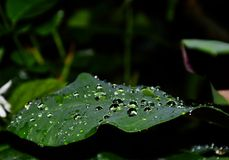 Water drop on the green leaf Royalty Free Stock Photography