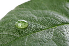 Water drop on green leaf over white Royalty Free Stock Photo