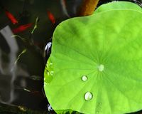 The water drop on the green leaf. At the raining time Stock Image