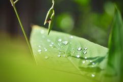 Water drop on Green leaf texture background, tropical leave foliage are shaped like tiny spikes, leaves in tropical forest. Green concept Stock Photo