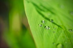 Water drop on Green leaf texture background, tropical leave foliage are shaped like tiny spikes, leaves in tropical forest. Green concept Royalty Free Stock Image